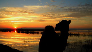 Camel in the twilight