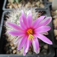 Mammillaria boolii (magnitferro) Tags: cactus mammillaria succulent boolii flower
