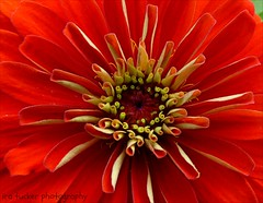 """All the so-called """"secrets of success"""" will not work.... (itucker, thanks for 4+ million views!) Tags: macro zinnia hmm raulstonarboretum coth5"""