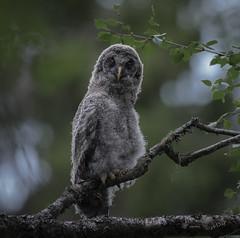 Please, no photos today (MatsOnni) Tags: mattisaranpää lapinpöllö strixnebulosa greatgreyowl juvenile owls raptors pöllöt petolinnut