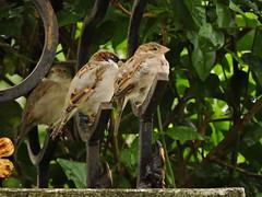 sparrows (chinnuraj09) Tags: sparrow sandeep raj cholla nikon chinnu chinnuraj green