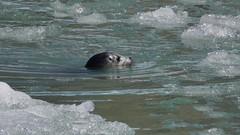 Harbor seal (Dave Bezaire) Tags: calaska18 vvideo vedit rating4~ harbor seal