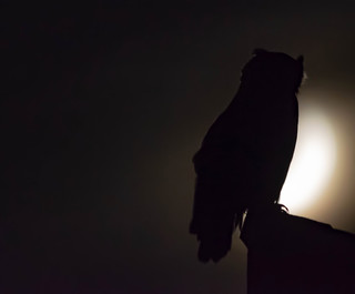 Great Horned Owl by the Light of the Moon #2