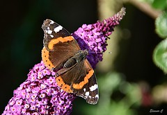 The Admiral (Eleanor (No multiple invites please)) Tags: redadmiral buddleia garden stanmore uk nikond7200 july2018