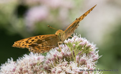 Silver washed Fritillary (snapp3r) Tags: butterfly silverwashedfritillary