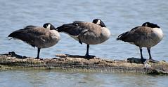 Canada Goose (glenbodie) Tags: 201829 bodie dncb glen glenbodie reifel