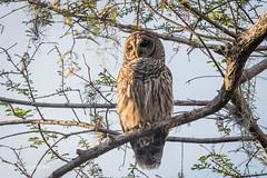 Barred Owl 500_7198.jpg (Mobile Lynn) Tags: nature owls birds barredowl bird fauna hootowl strigiformes strixvaria swampowl wildlife nocturnal naples florida unitedstates us