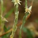 Small Cudweed (Filago minima) 23.6.2018 (8) (wildlifelover69) Tags: smallcudweed filagominima maidscrosshill lakenheath suffolk 2362018 wildflowersothercolours