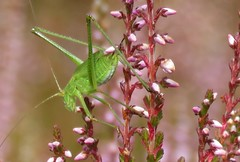 Another encounter with a green creature (Elisa1880) Tags: bush cricket kleine groene sabelsprinkhaan sprinkhaan tettigonia cantans insect den haag the hague solleveld nederland netherlands