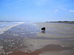 MY BORDER COLLIE (kelvin mann) Tags: dog koda bordercollie sheepdog pet beach sand coast lincolnshirecoast
