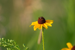 Worm-41895.jpg (Mully410 * Images) Tags: flower ramseycountypark worm park ramseycounty ricecreek ricecreeknorth wildflower