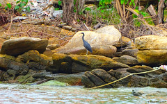 Pacific Reef Heron (Egretta sacra) (Steve Arena) Tags: kohsamet thailand thailandbirding2017 2017 nikon d750 bird birds birding rayong pacificreefheron egrettasacra heron reefheron