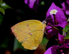 DSC_4295 (rajashekarhk) Tags: butterfly davanagere insects india karnataka flower beauty colours colourful yellow nature nikon naturephotography natural beautiful wildlife wild