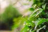 Garden Bokeh! (BGDL) Tags: lightroomcc nikond7000 nikkor50mm118g bgdl niftyfifty garden clematis bokeh week25 weeklytheme flickrlounge