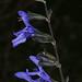 Russian Blue Sage