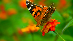 Butterfly (cami.carvalho) Tags: butterfly borboleta natureza nature flower flor