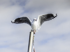 """On the flag pole (""""Pam's Pet Pictures"""") Tags: ozwhalewatching sydneyharbour availablelight whalewatching whalewatchingcruise tasmansea seagull flagpole boat cruise"""