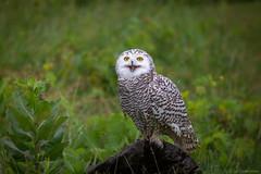 Smile (hey its k) Tags: 2018 canadianraptorconservancy captive nature ontario owl snowyowl vittoria wildlife canada ca img2538e canon6d