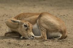 Indische Antilope - Blijdorp - Rotterdam (Jan de Neijs Photography) Tags: antiloop indischeantilope zoo blijdorp diergaardeblijdorp nederland dierentuin dierenpark dieniederlande holland thenetherlands dier animal eenhoevigzoogdier zoogdier rotterdamsediergaarde rotterdam zuidholland southholland