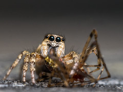 Zebra Jumping Spider with prey (claudiaulrikegoodall) Tags: