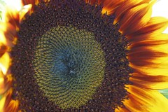 Sunflower (Anton Shomali - Thank you for over 1 million views) Tags: summer sunflower sun flower seeds sunflowerseeds plant yellow