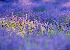 Sunlit Lavender (KT Photography.) Tags: 2018 sunlight summer banstead landscape london uk surrey m23 england july south m25 lavender mayfieldslavenderfarm downs unitedkingdom gb