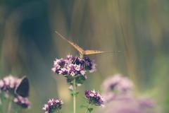 silberstrich (_andrea-) Tags: kaisermantel lepidoptera perlmutterfalter silberstrich sonya7m2 objektiv fe90mmf28macrogoss macro manualfocus thymian summerday summertime summertimehappiness argynnispaphia