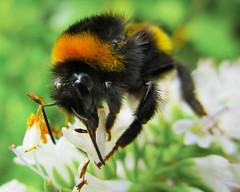 Lovely Nature (seanwalsh4) Tags: lovelynature honeybee 7dwf sundaysfauna fauna nectar closeup buzz bee honey love bristol garden flowers
