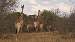 The giraffes are gone (foto.peter.schneider) Tags: africa southafrica safari nature africanwildlife naturephotography gamedrive global munich stunning gamelodge aroundtheworld way stunningnature gone path wildlifephotography beautyofnature globetrotter giraffe animal animals naturelovers wildlife
