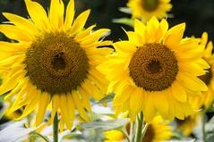 Au jardin (Ariège) (PierreG_09) Tags: ariège pyrénées couserans seix jardin tournesol flor flore fleur plante