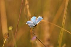 contrasti (@5imonapol) Tags: common blue butterfly bug july luglio summer macro life animal