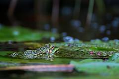 mal wieder ein Bewohner unseres Gartenteichs (Jana`s pics) Tags: frosch frog amphibie amphibian teich pond garten garden natur nature animal animals wildlife