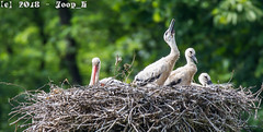 Stork_Familyportrait (Joop_K) Tags: sigma150600f5063contemporary storks ooievaarfamilie d7200nikon
