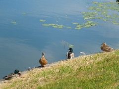 Four ducks (cloversun19) Tags: grass water landscape people see lake animal sky river duck ducks fourducks summer june kolpino russia russian spb travel lily waterlily swim flower nature bird