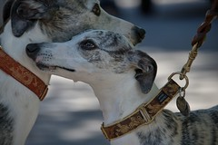Italian Greyhounds (Scott 97006) Tags: dogs canine animals pets leash collar breed