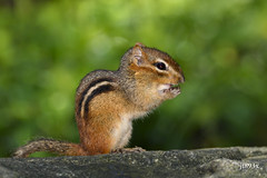 Chipmunk (jt893x) Tags: 150600mm d500 jt893x nikon nikond500 rodent sigma sigma150600mmf563dgoshsms coth5 alittlebeauty coth thesunshinegroup chipmunk