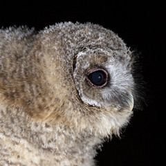 Tawny Owl Owlet (peterspencer49) Tags: peterspencer peterspencer49 tawnyowl owl raptor birdofprey bird nightphotography owlet