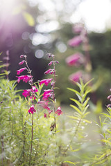 (Girl With Butterfly Wings) Tags: pink flowers petal petals light summer bokeh sunshine leaf leaves nature