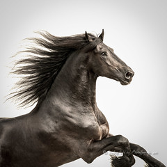 Friesian Stallion (1) (pixellesley) Tags: horse stallion running action movement equine fineartphoto friesian equineart oceancapture lesleygooding animal mammal canter gallop