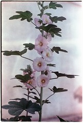 Paint 2 (Spock (Luis)) Tags: canonpellix kodakvision2 200t ecn2 ra4 homedeveloped flores flowers kodakmotionfilm minoltascan macro flower blossom plant