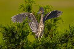 Wings... (ThruKurtsLens.com) Tags: awesome birds blackcrownednightheron flying heron nature naturephotographer outdoor rookery summer sunshine thrukurtslenscom train trains usa