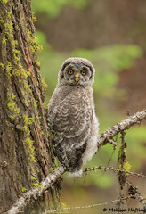 Great Gray Owlet (Strix nebulosa) - BC (bcbirdergirl) Tags: puffball strixnebulosa greatgrayowl bc family owls owl owlet young immature baby cute adorable magic unforgettable ggow birdofprey raptor