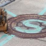 Squirrels in Ann Arbor at the University of Michigan (June 25th, 2018) thumbnail