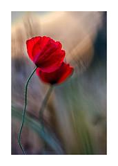 Coquelicots-125A4627-Modifier (helenea-78) Tags: macro proxy coquelicot coquelicots fleurs fleur fleurssauvages plante nature