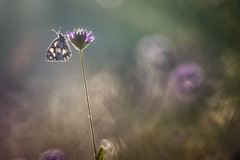 Up! (donlope1) Tags: macro nature light butterfly papillon summer morning dew sunrise wildlife proxy