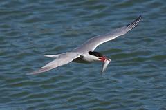 IMGP0799 Common Tern (kevin_livesey) Tags: birdwatching preston docks river ribble tern common nature wildlife bif