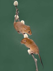 Passing Point (Chris Willis 10) Tags: harvestmice rodent animal nature fluffy small wildlife bird closeup branch oneanimal cute mouse tree pest colorimage pussywillow