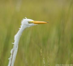 Egret in the grass (v4vodka) Tags: egret greategret bird birding birdwatching nature ardeaalba czaplabiala greatwhiteheron wader wadingbird czapla czapl commonegret largeegret greatwhiteegret reiher silberreiher newyork longisland 大白鹭