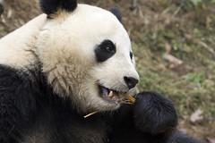 Giant panda eating, Dujiangyan Panda Base, Shiqiao (Qingchengshan), Dujiangyan, Sichuan, China (Ministry) Tags: 大熊猫 giant panda shiqiao village 青城山镇 qingchengshan 都江堰 dujiangyan 四川省 sichuan shěng 中国 china ccrcgp zhōngguó prc diseasecontrol base ailuropoda melanoleuca research center valley eating bamboo