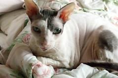 Max I (edenpictures) Tags: max cat cornishrex